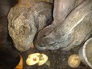 продам кроликов на племя самки 6-7мес