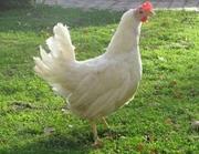 Куры-несушки, бройлеры, цыплята.