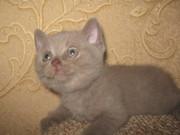 Британские котята с отличной родословной голубого и лилового окраса