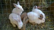Продаются кролики (мясо,  живой вес)