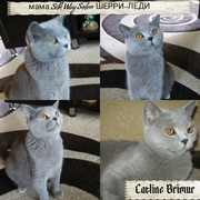 Британские котята голубого и лилового окраса от тяжеловесов