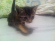 Отдам котенка трехцветного (сер.,  черн.,  бел.)