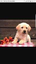 Продам щенка 2 мес Лабрадор