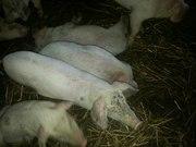 Поросята кабанчики и свинки